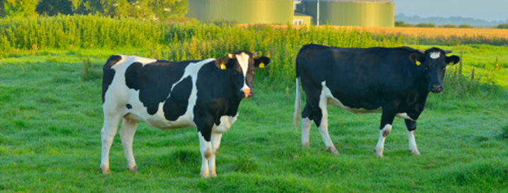 Diary Cattle Breeding | Farmer